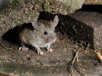 mice in crawl space